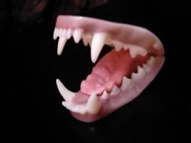 Dachsgebiss Nr GZ50 mittel von Mohr mit Zunge - Bild vergrößern