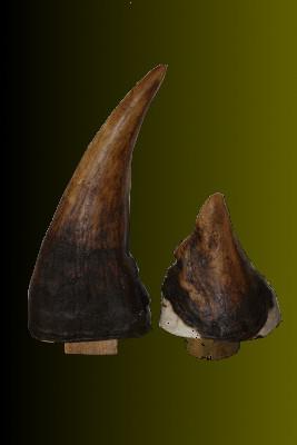 Nashorn Horn Nachbildung Nr.:AH351-4